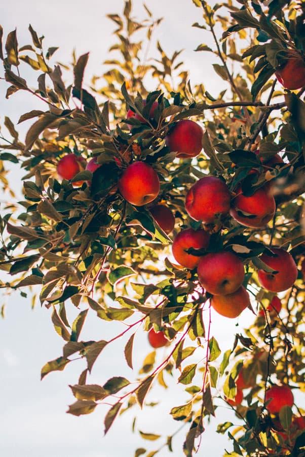 Streuobst Äpfel